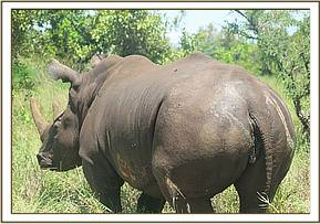 The rhino back on her feet after treatment