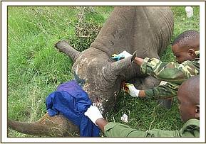 Treating a wound on the rhino's face