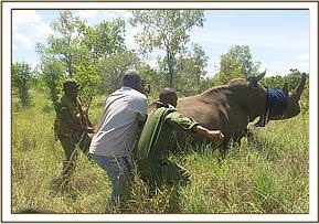 Immobilizing the rhino after darting