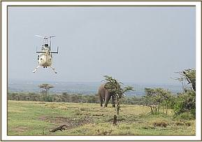 Elephant bull for translocation is driven to an open ground by a helicopter
