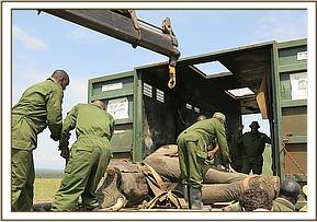 Modified conveyors are used to move the immobilized elephant onto a recovery crate where the elepha