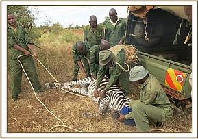 Preparing to release the zebra after relcoation