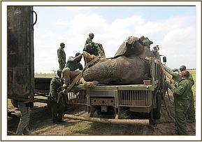 An immobilized elephant loaded onto the truck