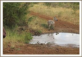 The zebra is successfully released into Meru National Park