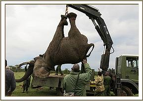 Using a crane to load an immobilized elephant