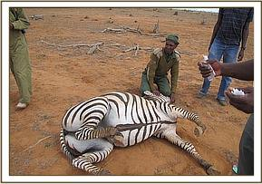 An immobilized zebra for sampling