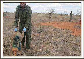 Releasing the warthog after sampling