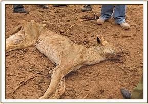The dead lioness was very thin