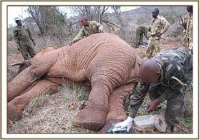 Treating a wound on the lame elephants foot