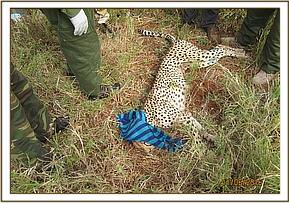 Cheetah treated and waiting to recover from anesthetic