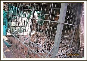 Problem leopard trapped for transport to clinic
