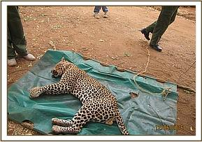 Leopard moved onto tarpaulin sheet