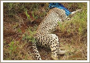 Immobilised Cheetah ready for treatment