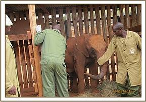 Our orphan Embu back in her stockade