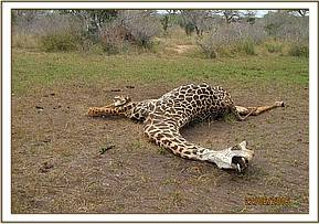 Carcass of a giraffe