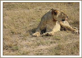 A collared lion in Amboseli