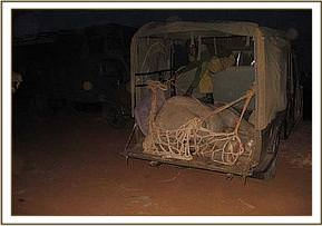 The captured calf is loaded into the back of the pickup