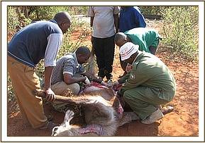 Performing the autopsy on the dead waterbuck