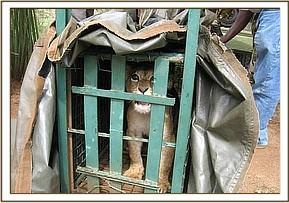 The lion cub in the transportation cage