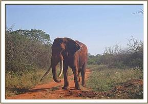 One of the translocated elephants back on its feet after receiving the revival drug