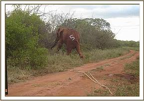 One of the translocated elephants in its surroundings
