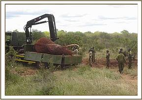 An elephant about to be translocated