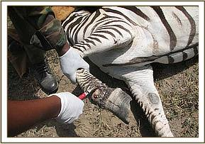 second snared Zebra at Crater lake- cutting the snare off