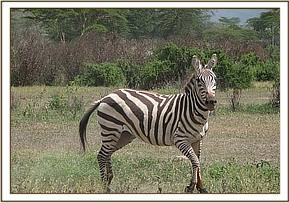 second snared Zebra at Crater lake- Zebra after treatment
