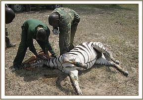 second snared Zebra at Crater lake- Zebra during treatment