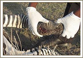 snare wound on the zebra's leg