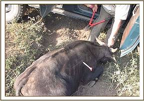 snared buffalo during treatment