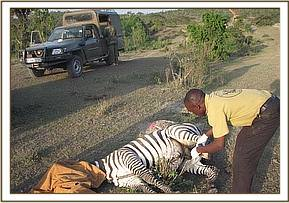 snared zebra getting treatment by our Vet