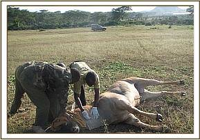 Snared Eland during treatment