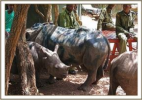 The young baby rhinos