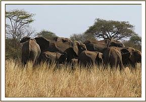 The injured elephant was amongst its herd