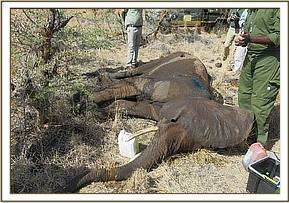 The elephant has lost body condition