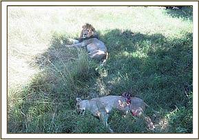 The lioness was lying with a young male lion