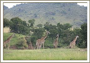 The injured giraffe was amongst a herd of others