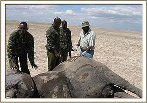 The Amboseli elephant with an arrow wound on the back getting treatment