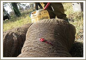 The wound on the elephants leg