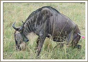 Wildebeest coming back around