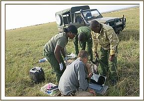 Placing the collar on the wildebeest