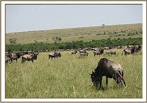 Darting the wildebeest