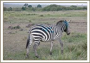 The zebra walking away