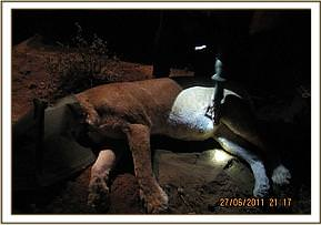 Singila lioness is darted
