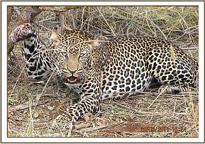 The snared leopard at Lualenyi