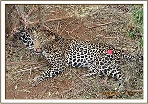 The snared leopard is darted