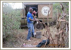 The vet cuts the snare off and revives the leopard