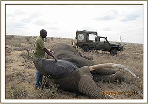 The Vet revives the elephant following the treatment