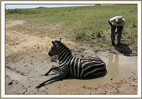 the zebra unable to move properly in the mud